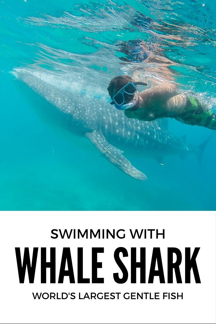 Whale Shark – Swimming with World's Largest Gentle Fish